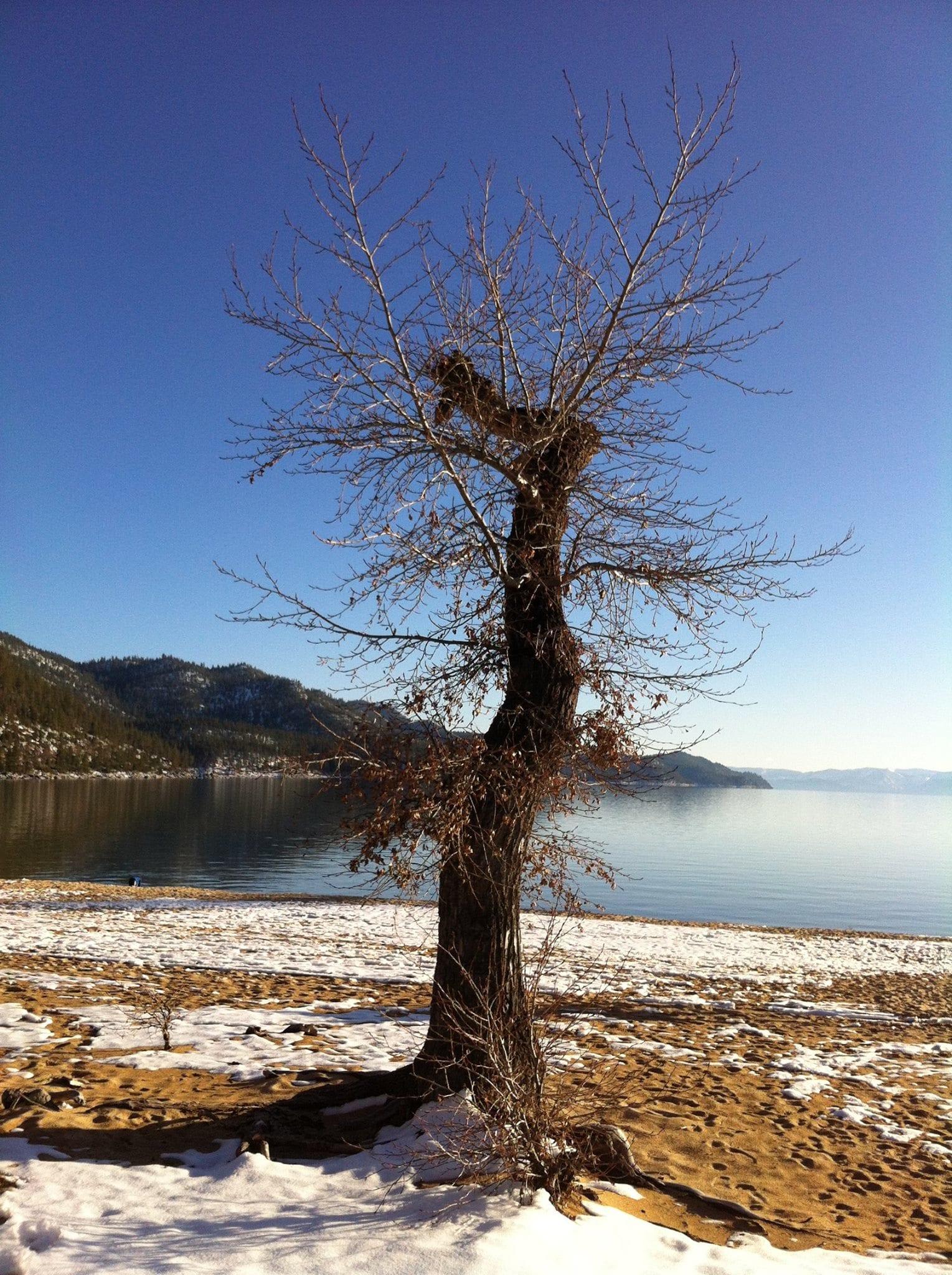 Tree at Sand Harbor 2014