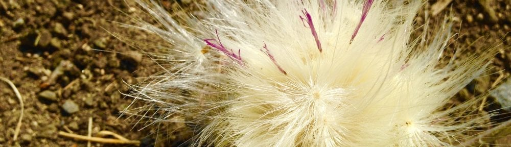 Musk Thistle #1